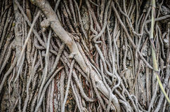 Liana plant creeping cover on the tree Royalty Free Stock Image