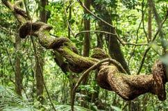 Liana in rainforest. Sinharaja, Sri Lanka royalty free stock image