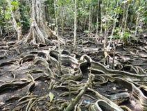 Liana roots. Panama Stock Image
