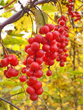 Liana Schisandra Chinese With Clusters Of Berries Royalty Free Stock Image