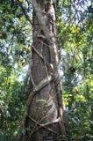 Liana tree, Thailand Stock Photo
