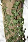 Liana on the tree Royalty Free Stock Photos