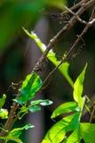 Liana tropical envuelta alrededor de un árbol Fotos de archivo