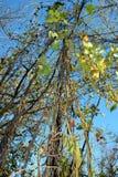 Liana verde Imagem de Stock Royalty Free