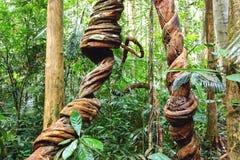 Lianas που τυλίγει μέσω του τροπικού δάσους. Στοκ Φωτογραφία