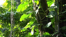 Lianas with big leaves on high trees, lush vegetation in rainforest jungle. UHD 4K stock video