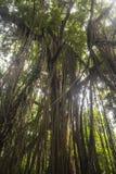 Lianas in jungle of Ubud, Bali Stock Image
