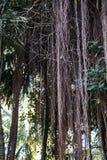 Lianas que cuelgan de la selva tropical Imagen de archivo libre de regalías