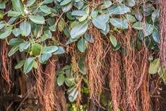 Lianas que cuelgan de la selva tropical Fotos de archivo