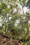 Lianas winding through the rainforest. Royalty Free Stock Photo