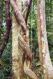 Lianas winding through the rainforest. Royalty Free Stock Photography