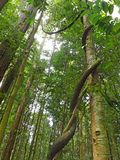 Lianas. Woody vines called lianas twisting around tall tree trunks for vertical support in the tropical rainforest in Bukit Timah nature reserve in Singapore Royalty Free Stock Photography