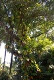 Liane auf einem Baum Lizenzfreies Stockbild