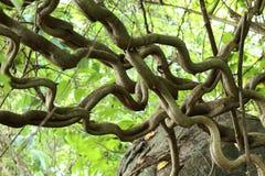 Liane- oder Dschungelreben Stockbilder