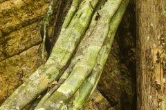 A liane and a tree trunk. At Kabalebo, Suriname Royalty Free Stock Photo