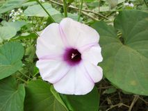 Liane tropicale de fleur rose de Hawaïen Image libre de droits