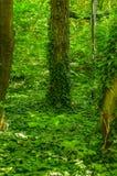 Liane wächst auf dem Baum Lizenzfreie Stockfotografie