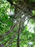 Lianen auf Baum Lizenzfreie Stockfotografie