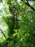 Lianen auf Baum Lizenzfreies Stockfoto