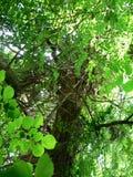 Lianen auf Baum Stockfotos