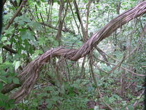 Lianen auf Baum Stockfotografie