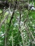 Lianen auf Baum Stockbild