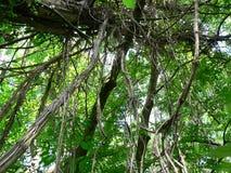 Lianen auf Baum Stockfoto