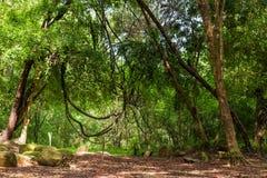Lianer i djungel fotografering för bildbyråer