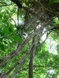 Lianer på träd Royaltyfri Fotografi