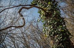 Lianes sauvages de lierre de poison s'élevant sur le vieil arbre dans la forêt feuillue à feuilles caduques Photo stock