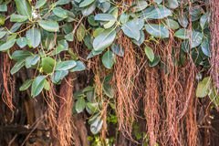 Liany dynda od tropikalnego lasu deszczowego Zdjęcia Stock