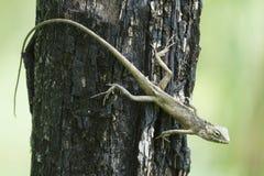 Liard oder Leguan Lacertilia stockbilder