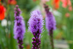 Liatris Royalty Free Stock Photography