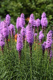 Liatris. (Blazing-star, Gay-feather or Button snakeroot) is a genus of ornamental plants in the Asteraceae family Royalty Free Stock Image
