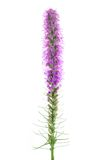 Liatris flower Royalty Free Stock Images