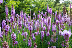 Liatris flower stock images