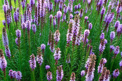 Liatris flower Stock Photo