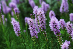 Liatris is a genus of ornamental plants in the Asteraceae family.  stock image