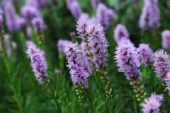 Liatris ist eine Klasse von Zierpflanzen in der Asteraceaefamilie Stockbild