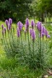 Liatris - le soleil de pièce du soleil ; fleurit le milieu de l'été à l'automne tôt ; fleurs pourpres dans un pré image stock