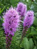 Liatris Plant Royalty Free Stock Images