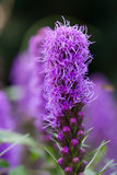 Liatris spicata Royalty Free Stock Photo