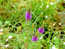 Liatris Spicata Gayfeather, a species of flower found in Kaas Plateau stock photography
