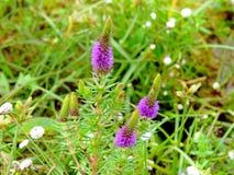 Liatris Spicata Gayfeather, gatunki kwiat zakłada w Kaas plateau fotografia stock