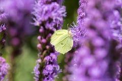 Liatris spicata purpury kwitną w kwiacie, ornamentacyjna kwiatonośna roślina, Gonepteryx rhamni motyl obrazy stock