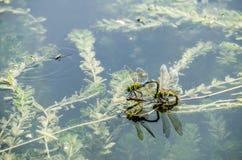A libélula é de acoplamento e de colocação ovos Fotografia de Stock Royalty Free