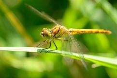 A libélula é uma vida do inseto perto dos corpos da água foto de stock