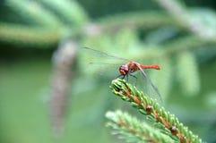 libélula Foto de archivo libre de regalías