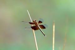 libélula Fotografia de Stock