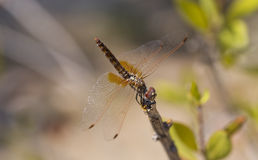 A libélula Imagens de Stock